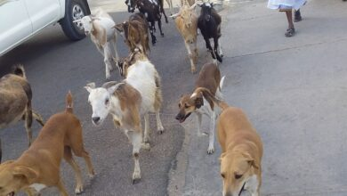 Photo of قطيع من المعز وحراس من فصيلة أخري يجوبان شوارع في قلب العاصمه